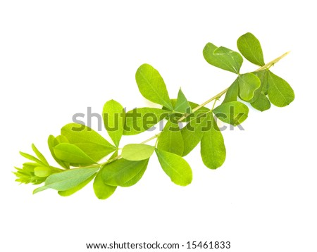 Green leaves against the white background