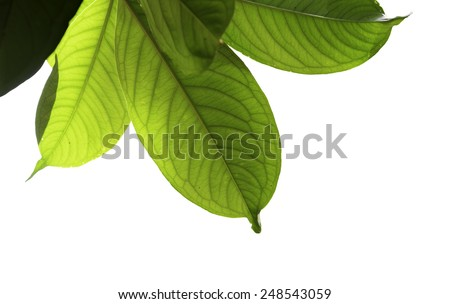 Green leaves against white background - stock photo