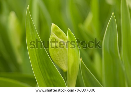 Green leaves and a bud iris close-up - stock photo
