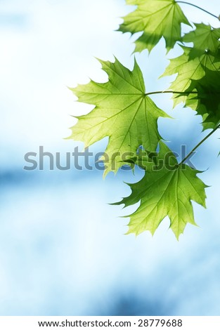 Green leaves and blue sky in spring - stock photo