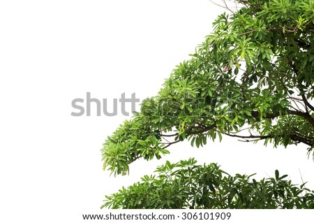 green leaves and branches isolate white background