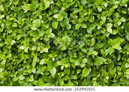 Green leaves and bright in sunlight,Background, Leaves - stock photo