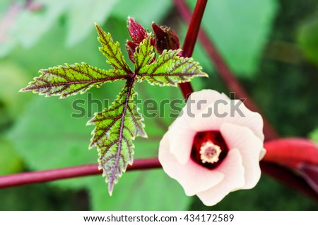 Green leaves and pink flower blossom on tree of Jamaica Sorrel or Hibiscus Sabdariffa in Thailand - stock photo