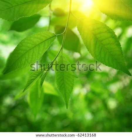 Green leaves and sun. - stock photo