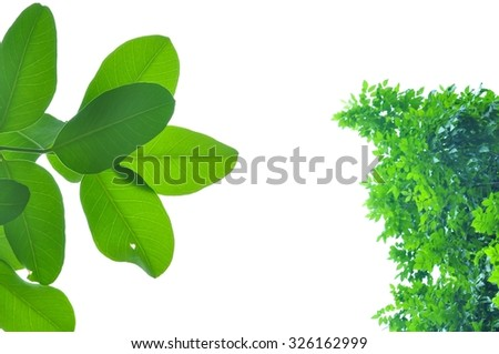 Green leaves and white background in the garden