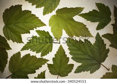 Green leaves background. Arrangement, backlit, lens vignetting applied. - stock photo
