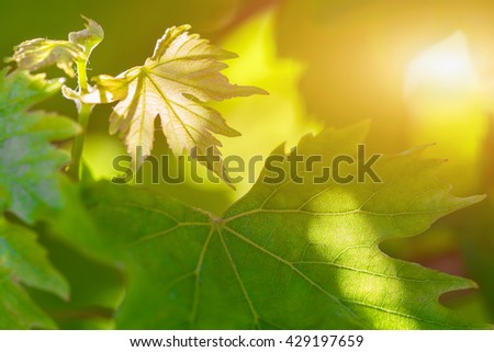 Green leaves background, sunny - stock photo