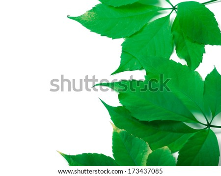 Green leaves background with copy space. Virginia creeper leaves. - stock photo