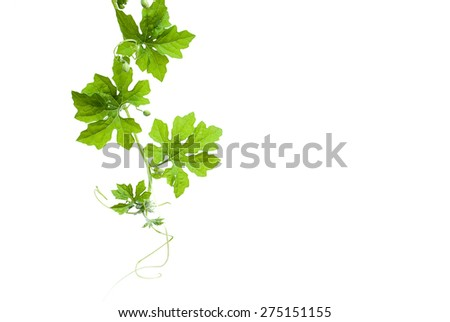 Green leaves climbing vine with tendrils isolated on white background. Bitter gourd, bitter melon, a climbing plant, medicinal plant. - stock photo