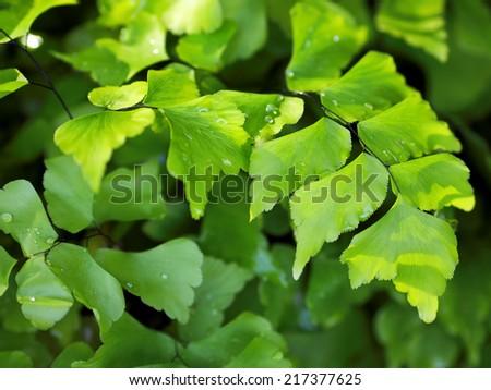Green Leaves Ginkgo Fern Ginkgo Biloba with Water Drops - stock photo