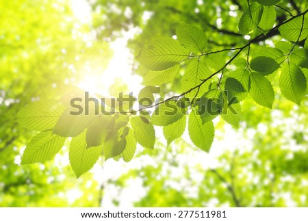 Green leaves  in forest background in sunny day - stock photo