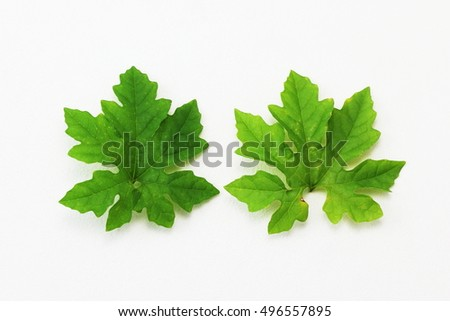 Green leaves in macro  nature background concept