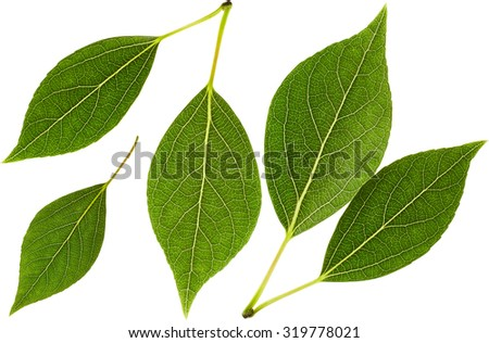 Green leaves in set isolated on white background. Nature background