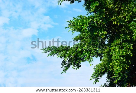 green leaves in sunshine on blue sky background, blank text  - stock photo