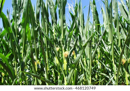 green leaves in texture of cornfield
