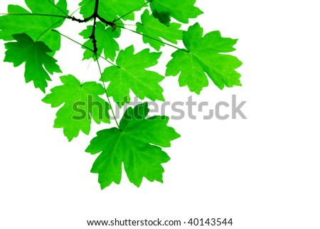 green leaves isolated on a white