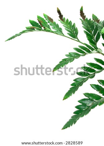 Green leaves isolated on white - stock photo