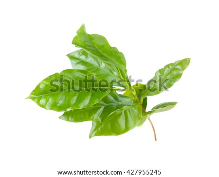 Green leaves, isolated on white - stock photo