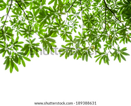 green leaves isolated on white background, clipping path included