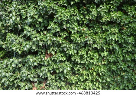 Green  leaves ivy on a wall of house. Garden / Background.