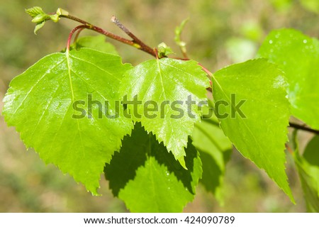 green, leaves, leaf, tree, nature, plant, spring, forest, summer, beautiful, beauty,   light, fresh, bright, wood, shadow, foliage, lush, sunny, branch, natural, outdoor, young, group, park,wild,birch - stock photo