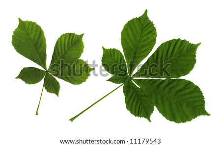Green leaves of a chestnut on the isolated white background