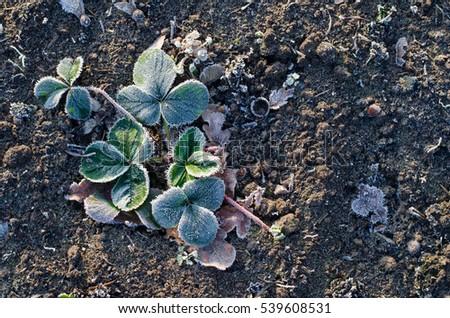 green leaves of a strawberry plant beautifully frozen in winter in the countryside soil
