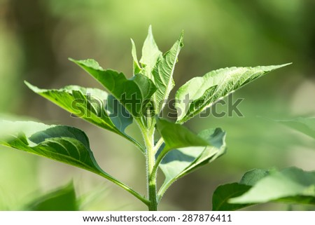 green leaves of a sunflower on nature - stock photo