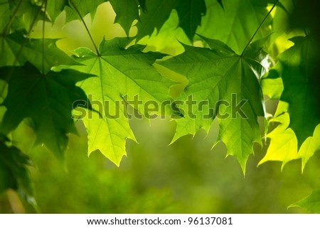Green leaves of a tree - stock photo