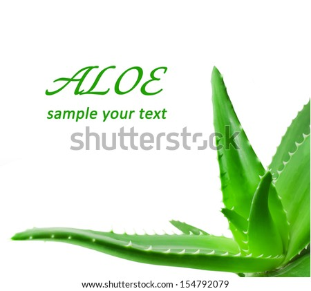 Green leaves of aloe plant close up - stock photo