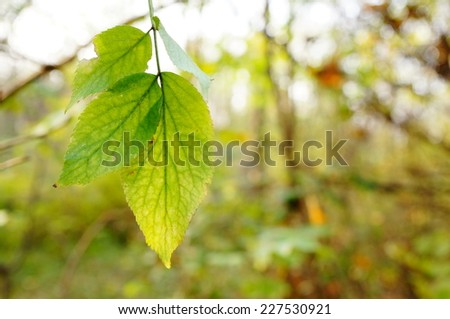 Green leaves of an tree - stock photo