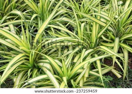 green leaves of Chlorophytum comosum. ( spider plant ) - stock photo