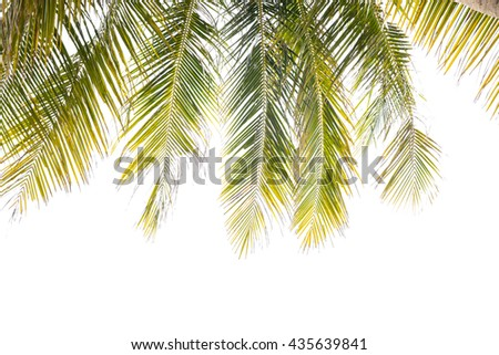 Green Leaves of coconut tree,coconut leaf  isolated on white background. - stock photo