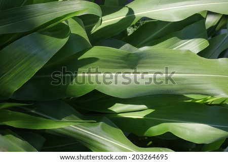 green leaves of corn. plant with large long leaves