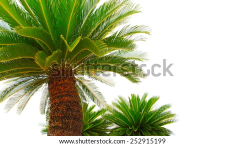 green leaves of cycad plam tree plant isolated white background use for garden and park decorated - stock photo