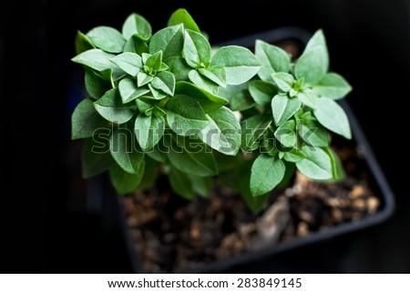 green leaves of decorative plants. Basil bushy (Ocinum basilicum minimum) - stock photo