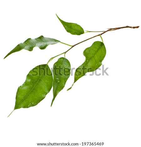 green leaves of ficus tree close up isolated on white background - stock photo