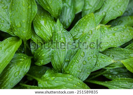 Green leaves of hosta with rain drops. - stock photo