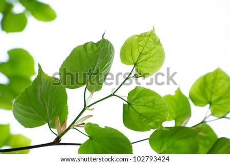 Green leaves of linden