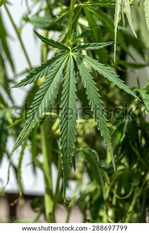 Green leaves of marijuana on the branches of plant stem. Hemp. Narcotic plants. Prohibited for plant growth. Shallow depth of field. Selective focus. Background image for design of social advertising