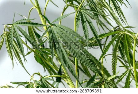 Green leaves of marijuana on the branches of plant stem. Hemp. Narcotic plants. Prohibited for plant growth. Shallow depth of field. Selective focus. Background image for design of social advertising - stock photo