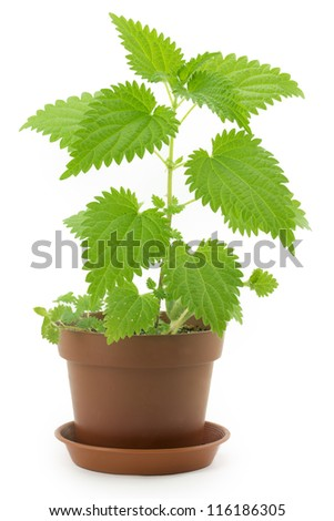 green leaves of nettles, prickly plant - stock photo