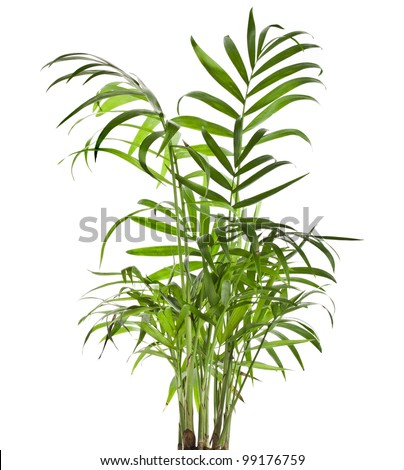 Green leaves of palm tree Howea isolated on white background - stock photo