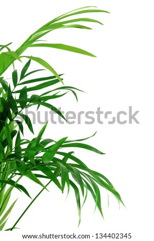 green leaves of palm-tree  isolated on white - stock photo