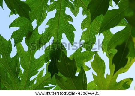 Green leaves of papaya tree against sky background, details of papaya leaf - stock photo