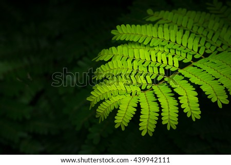 green leaves of Parkia javanica close up, selective focus. - stock photo