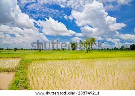 Green leaves of rice sprouts in water, Thailand - stock photo