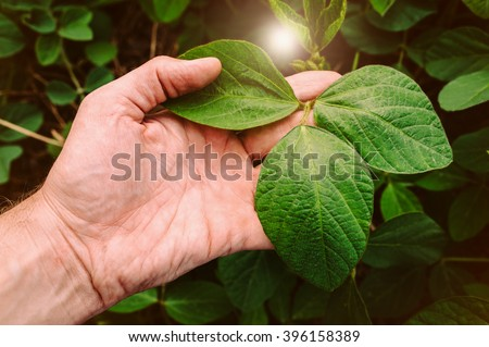 Green leaves of soy bean in hand.  - stock photo