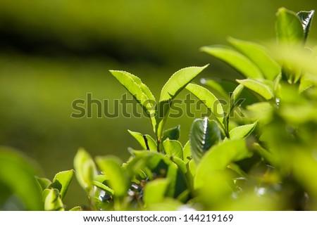 Green leaves of tea in Sri Lanka closeup - stock photo
