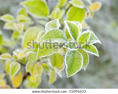 Green leaves of the plant covered with morning frost. - stock photo